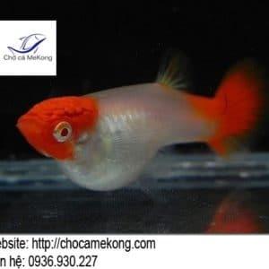 Cá 7 màu Koi Red Ear