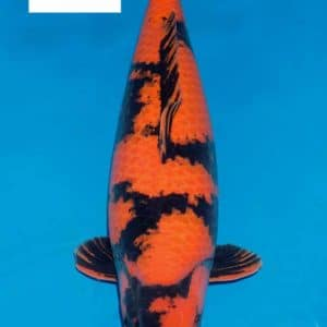 Cá chép Koi hi utsuri