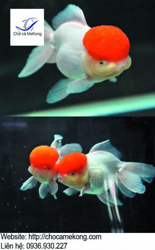 Cá Hạc Đỉnh Hồng