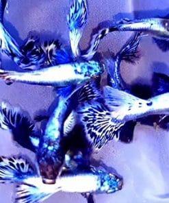 cá 7 màu rồng tím