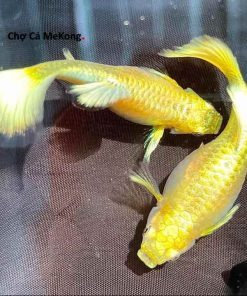 Cá bảy màu Full Gold