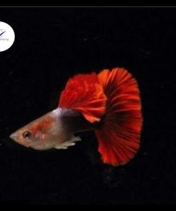 Cá bảy màu Hb Red