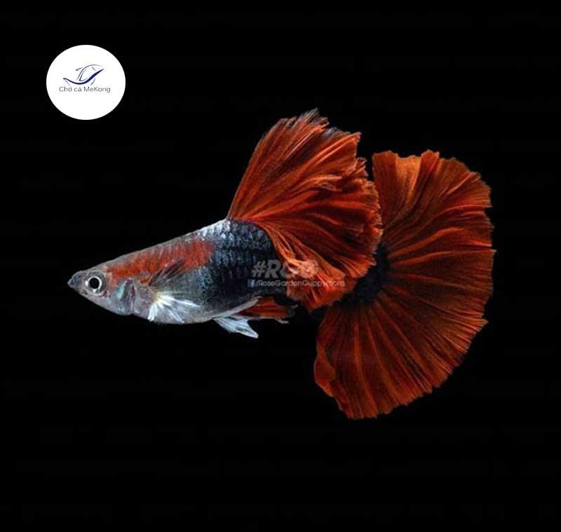 Cá bảy màu Hb Red Rose