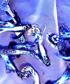 Cá bảy màu rồng tím