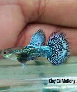 cá bảy màu rồng xanh