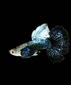 Cá bảy màu Rồng Xanh Indo