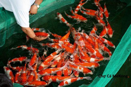Cá chép Koi Kohaku