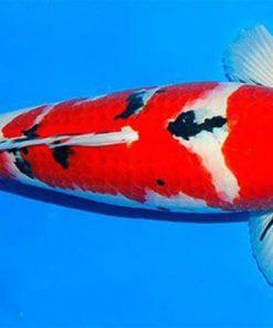 cá chéo Koi Sanke