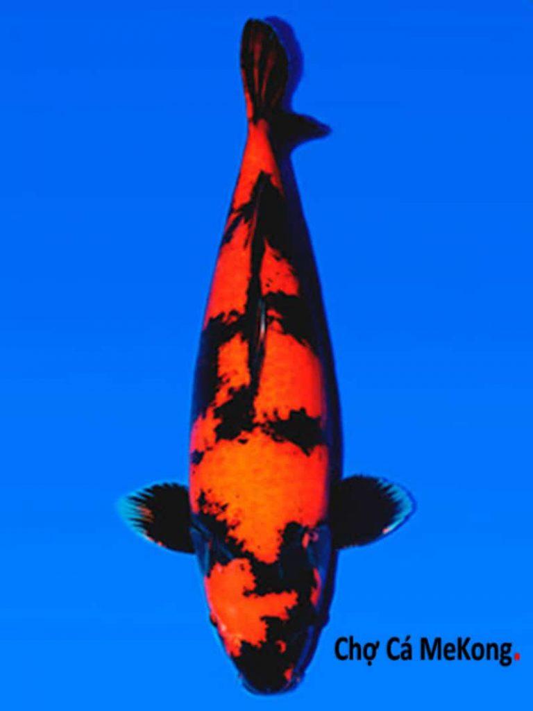 Cá koi hi utsuri