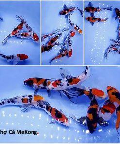 Cá Koi Nhật Sanke