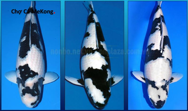 Cá koi nhật shiro utsuri