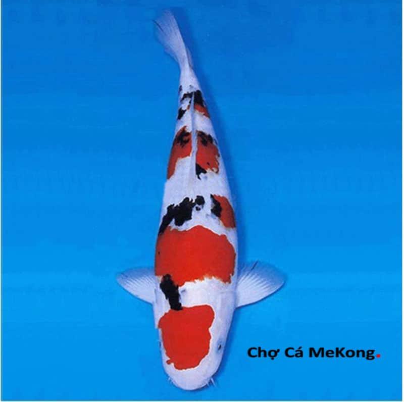 Cá Koi Sanke