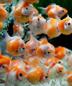 cá ping pong đẹp