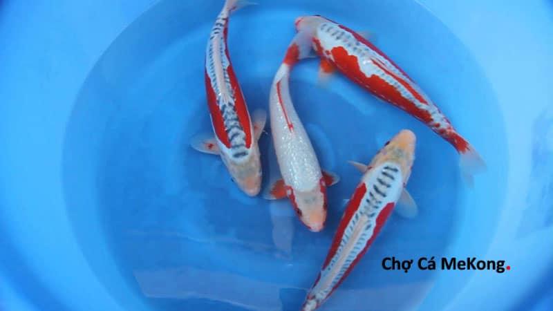 Cá Koi Nhật Shusui 20cm 30cm