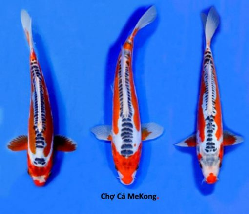 Cá Koi Nhật Shui Sui
