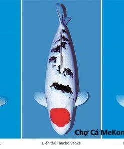 cá Koi Nhật Tancho