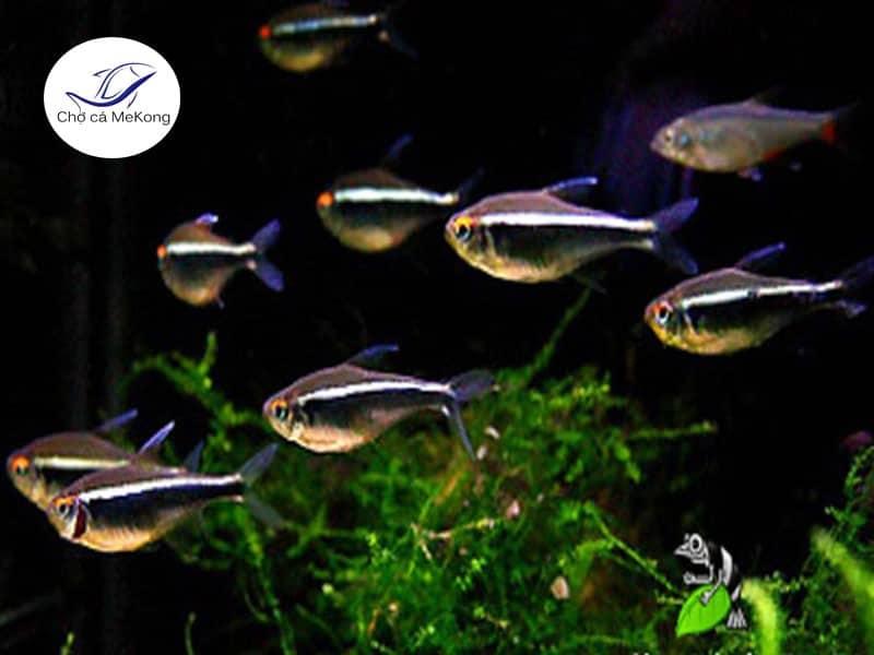 Cá neon Đen nuôi thủy sinh