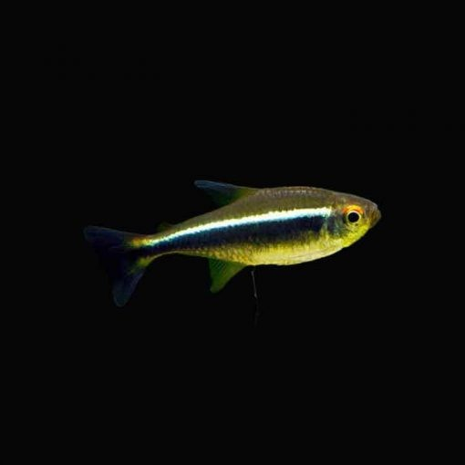 Cá neon đen