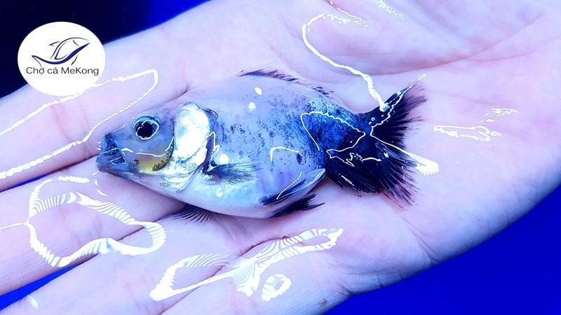 cá vàng lan thọ