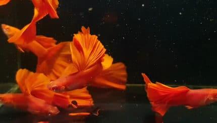 Cá bảy màu Full Red Big Dorsal