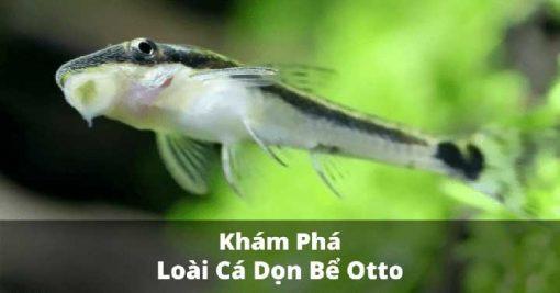 Cá chuột otto