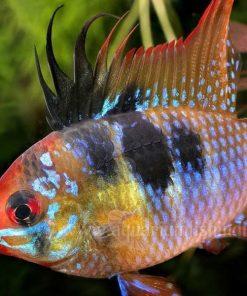 cá phượng hoàng ngũ sắc