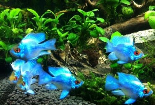 Cá phượng hoàng xanh
