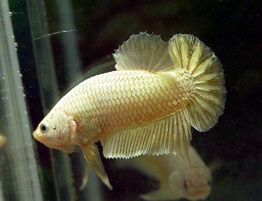 Cá Betta Rồng Vàng