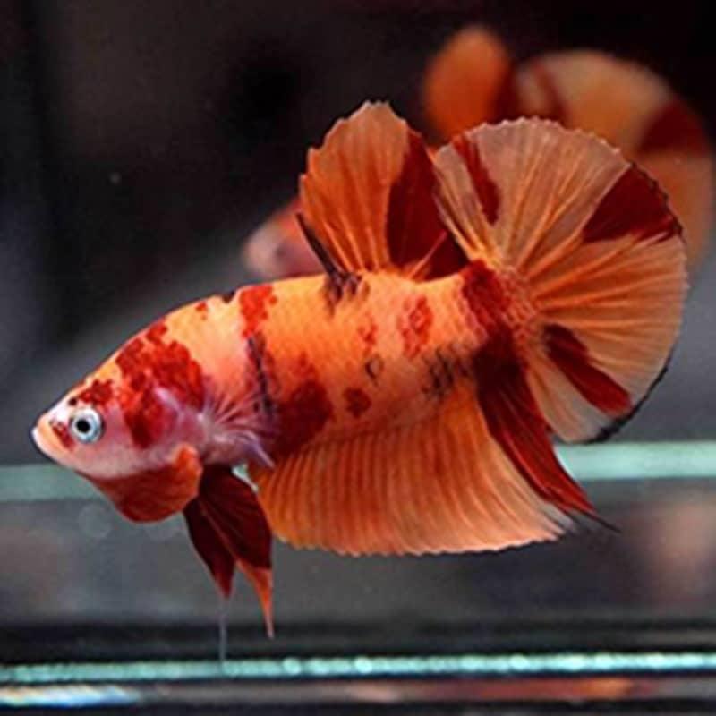Cá betta nemo