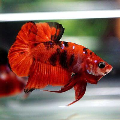 Cá betta Koi red