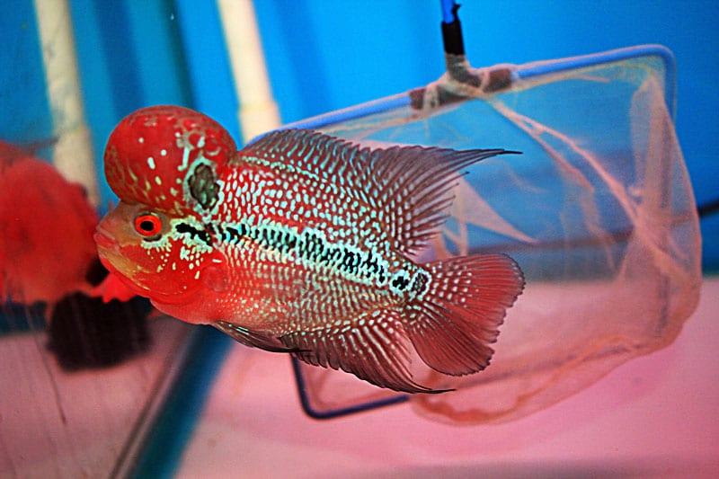 cá la hán thái đỏ châu