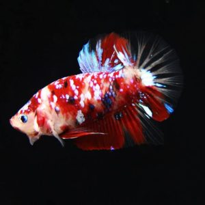 Cá betta Koi Galaxy
