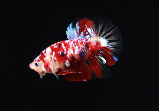 Cá betta Koi Galaxy