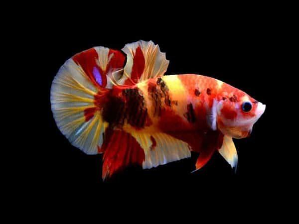 cá betta Koi Nemo