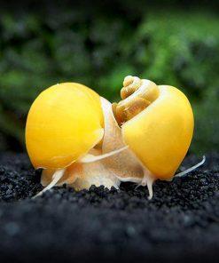 Ốc táo sinh sản