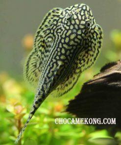 Cá Tỳ Bà