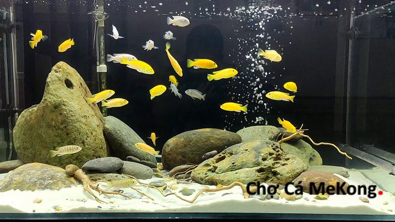Cá ali thủy sinh