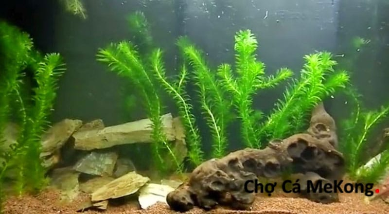 cây rong đuôi chó thủy sinh