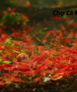 tép đỏ thủy sinh