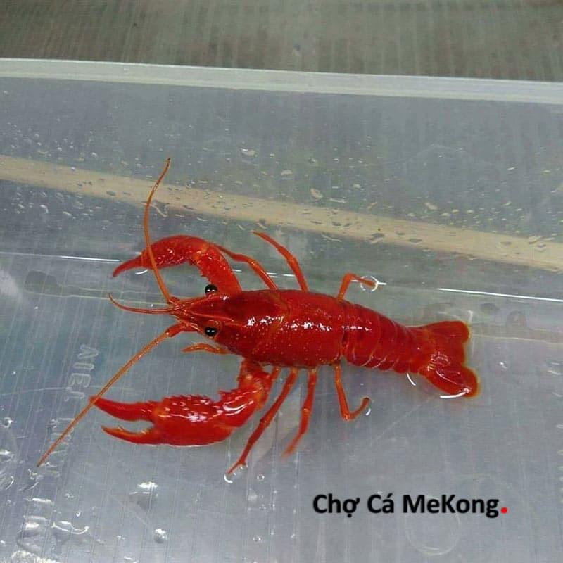 Tôm kiểng crayfish