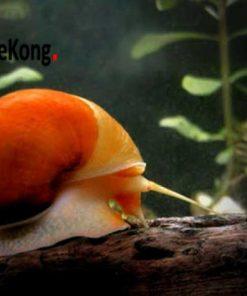 ốc táo đỏ thủy sinh