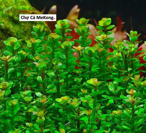 cây vảy ốc xanh