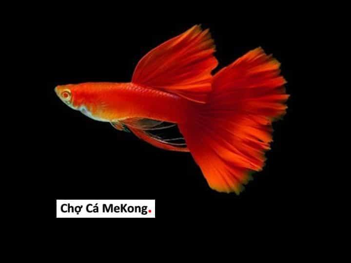 Cá bảy màu Full Red Ribbon