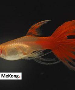 Cá bảy màu Full Red Swallow