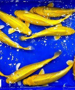 Cá chép Koi Yamabuki