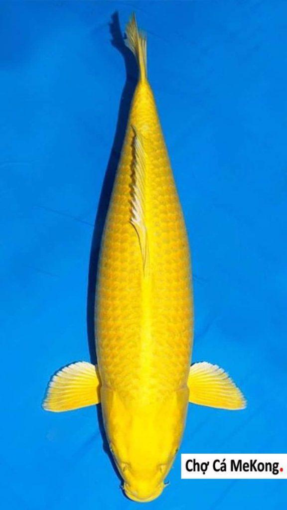 Cá Koi Yamabuki
