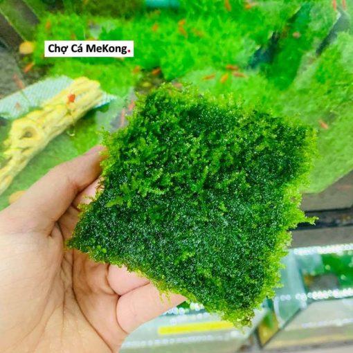 Rêu Mini Taiwan