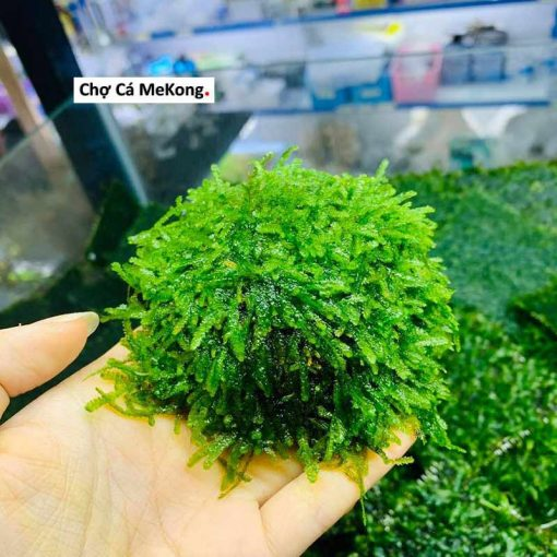 rêu mini taiwan co can co2