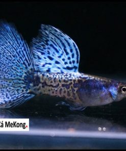 Blue Lace Guppy