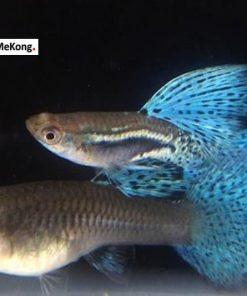 Cá bảy màu Blue Grass